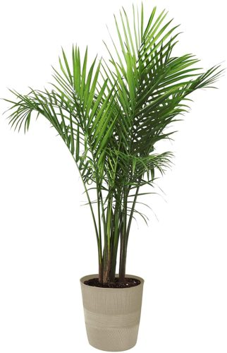 Costa Farms Majesty Palm Tree - Large Indoor Plants