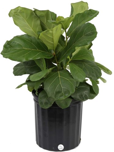 Costa Farms- Ficus Lyrata Leaf Fig Tree - Large Indoor Plants