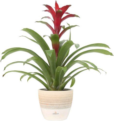Costa Farms Flowering Bromeliad - Large Indoor Plants