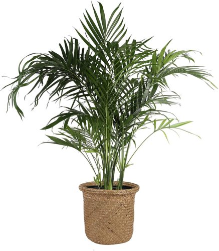 Costa Farms Cat Palm - Large Indoor Plants